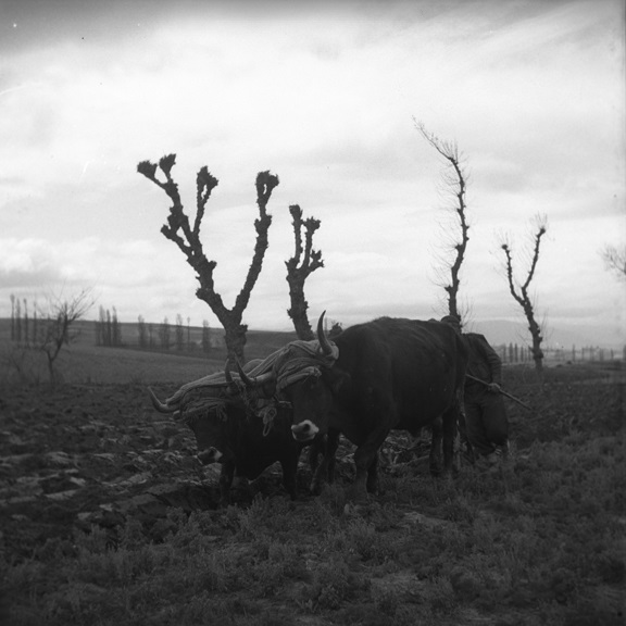 Farmer and oxen. From Walt Girdner's European collection
