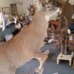 Mehlhop Four Season Taxidermy (113)