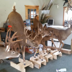 Mehlhop Four Season Taxidermy (115)