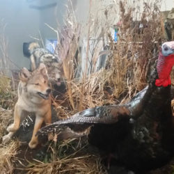 Mehlhop Four Season Taxidermy (63)