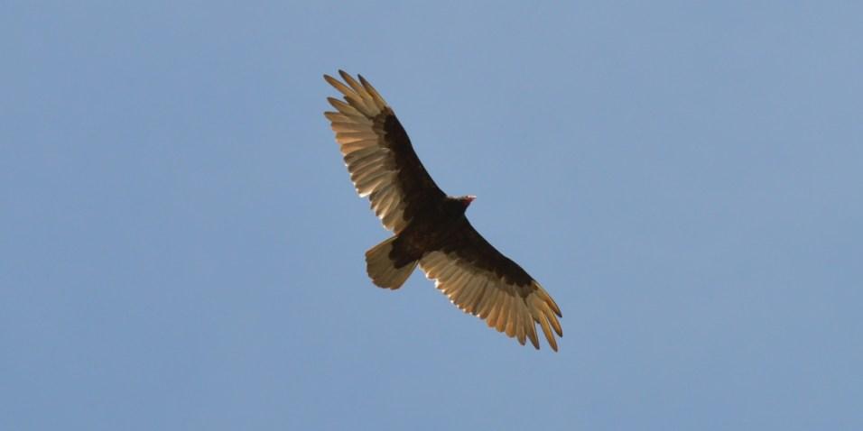 Hawk over Norris Dam