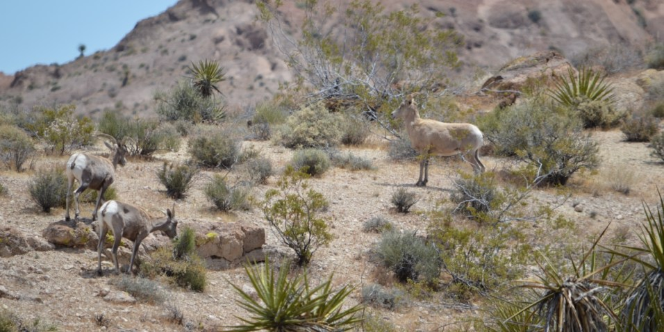 Mountain Goats in Eldorado Canyon - first shot with the new zoom lens