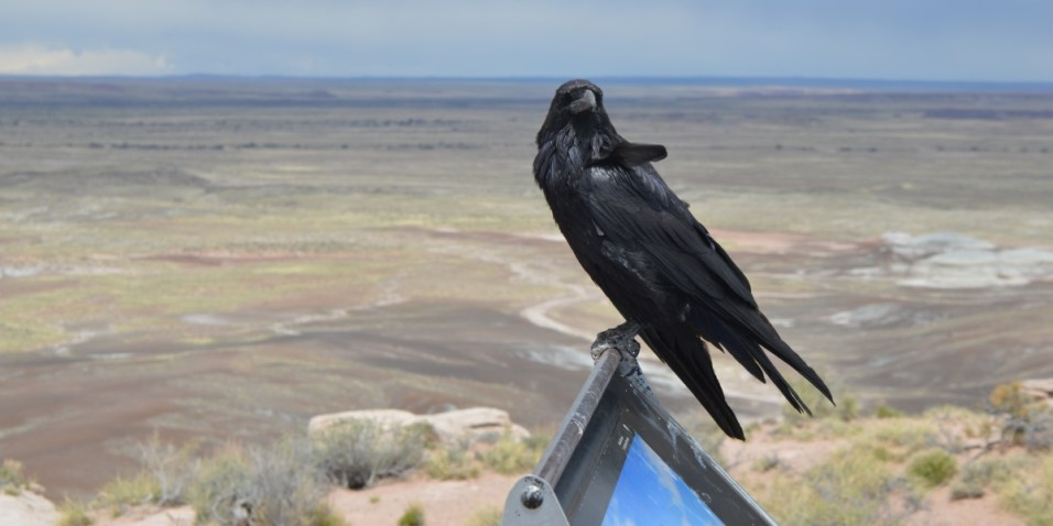 Painted Desert crow - local wildlife