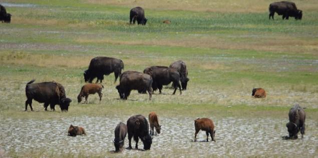 Antelope Island Bison families grazing