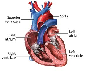 Your Heart and Your Heart Surgery   Covenant Health