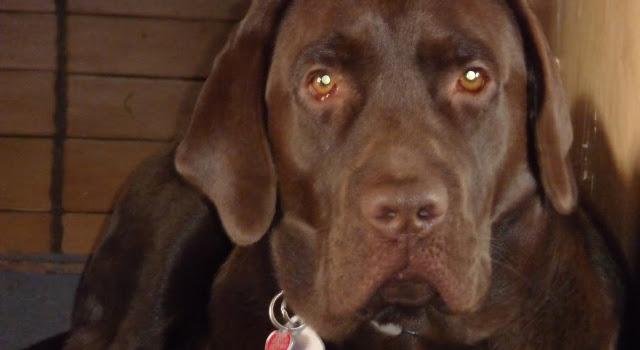 Schwarzer Labrador-Rüde verschwunden