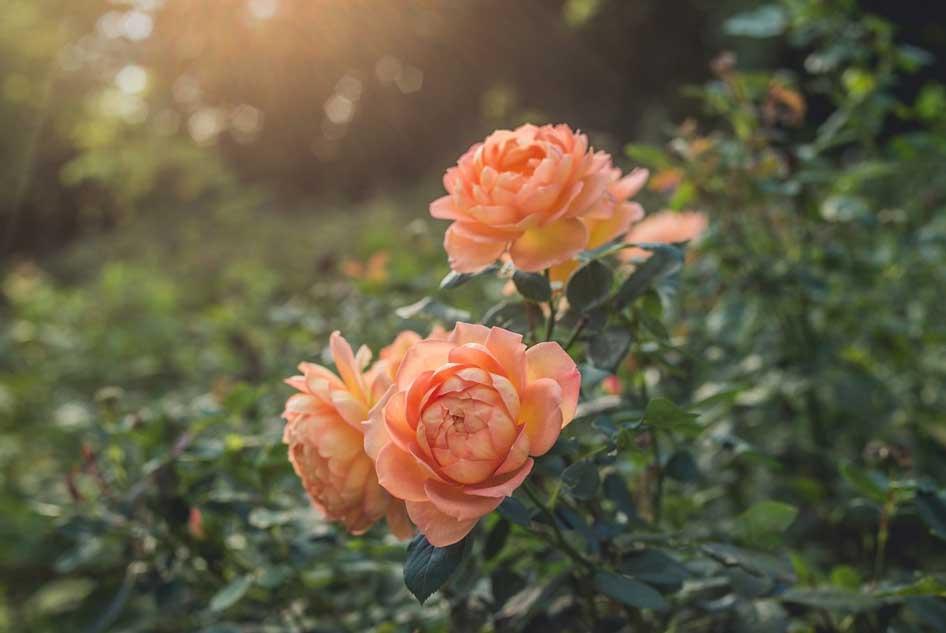 Beautiful rose garden in Kent.jpg