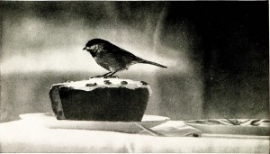 Graphic from Common birds of town and country, National Geographic Society, 1914, Cornell University Library on Flickr