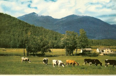 Postcard: View of Mt. Adams and Madison from Pinkham Notch, White Mountains NH.  Cows enjoying the view from the Glen House.