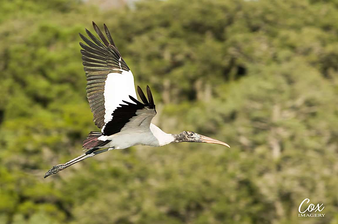 Wood Stork – A PRETTY Ugly Bird To Photograph