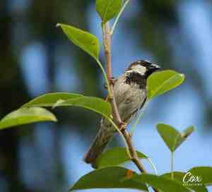 House Sparrow Photo Subject – Behind The Shot