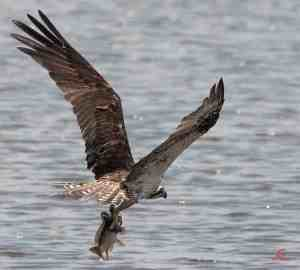 Blackwater NWR – Shooting Osprey Fishing