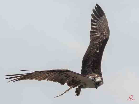 blackwater nwr osprey hunting