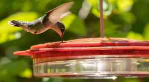 HUMMINGBIRD FACTS AND PHOTOGRAPHING THEM
