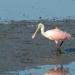 Spoonbill Huntington Beach
