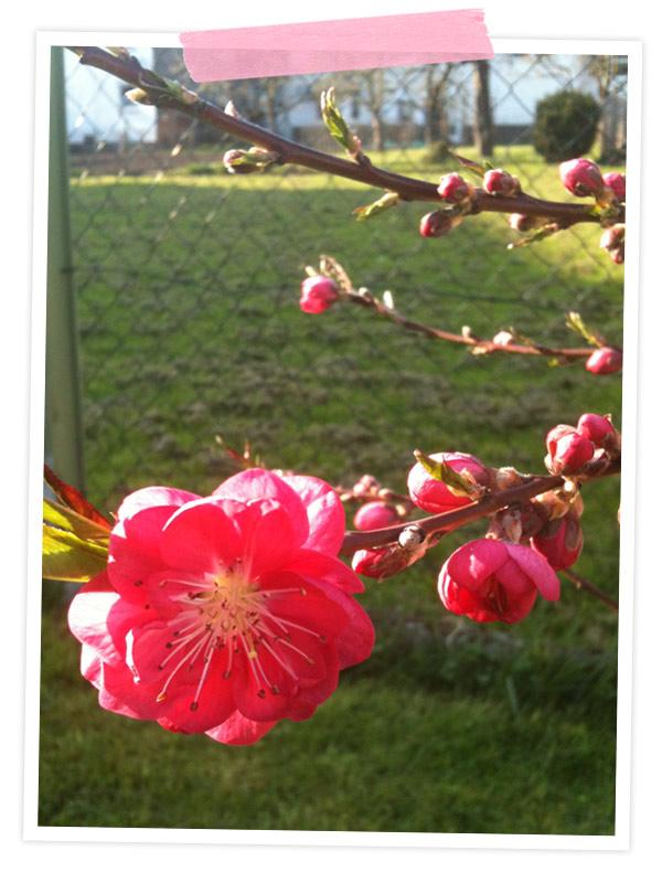 Der Pfirsichbaum, den meine Schwester mir letztes Jahr zum Geburtstag geschenkt hat blüht soooo wunderschön!