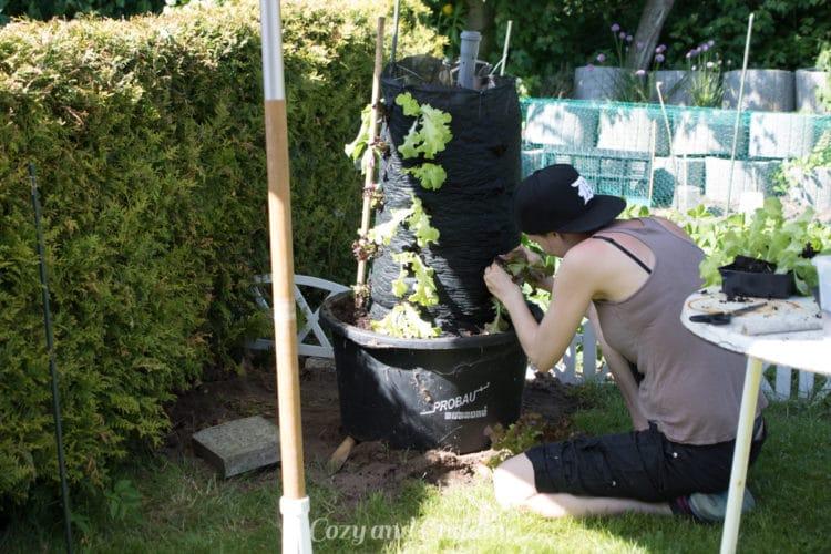 Steffi hat den Salat nach Sorten sortiert eingepflanzt. Wir arbeiteten unter einem Schirm, weil es so warm war.
