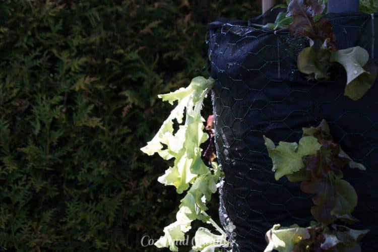 Zuerst hingen die kleinen Pflanzen etwas müde herunter aber sie haben sich schnell an ihren neuen Platz gewöhnt und wurden nach wenigen Tagen sehr kräftig