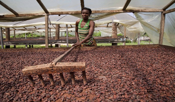Solar drying of cocoa beans. Image Credit: ifad-un.blogspot.com