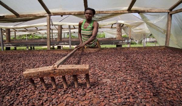 Solar drying of cocoa beans. Image Credit: ifad-un.blogspot.com