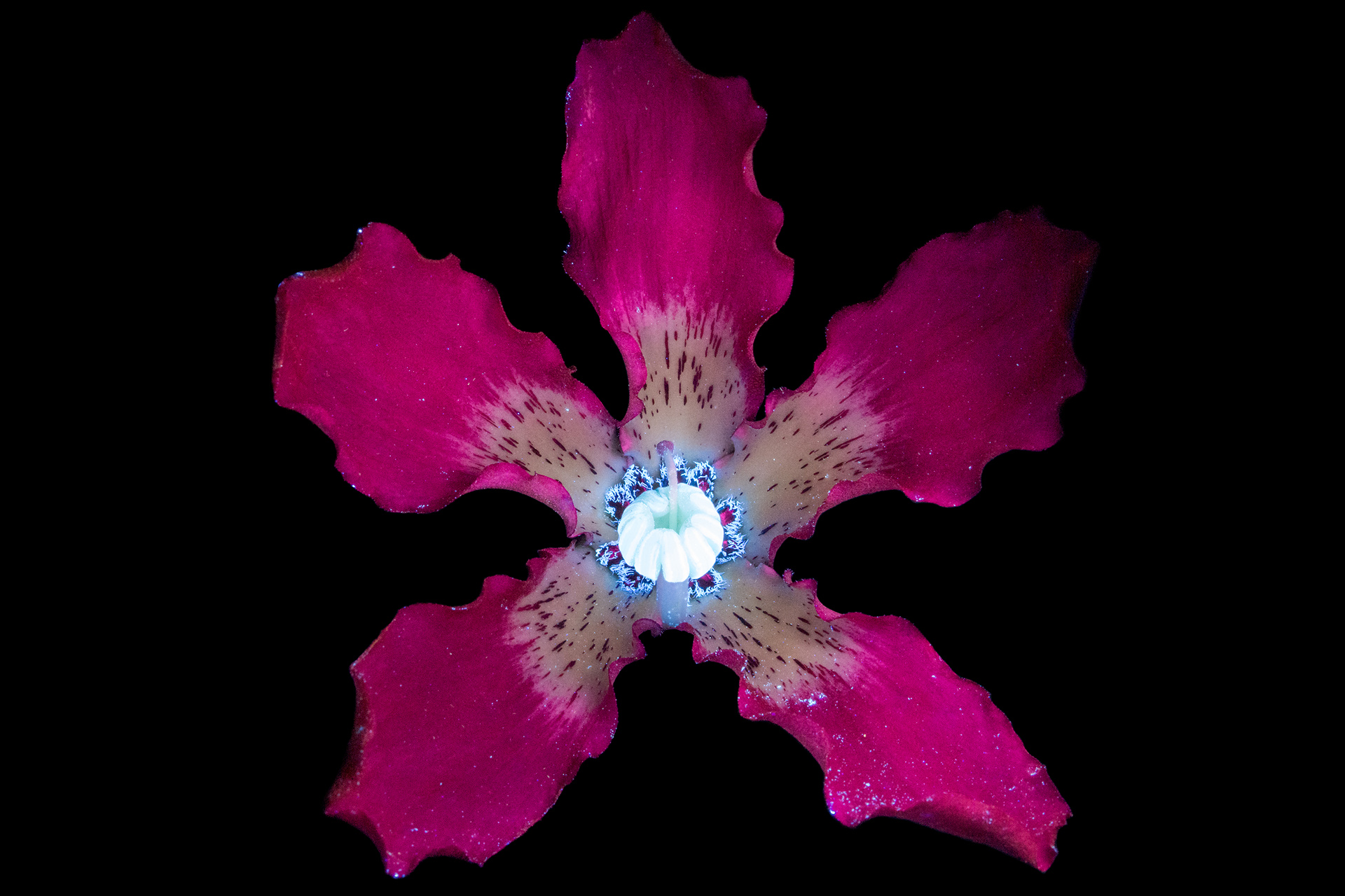 http://i0.wp.com/www.cpburrows.com/wp-content/uploads/2017/01/Silk-Floss-Tree-Flower-2s-1.jpg?fit=1920%2C1280