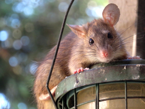 rat on bird feeder