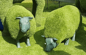 Green grass sheep