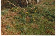 Crabbs Bluntshay Farm daffodils