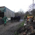 Cattle off to market
