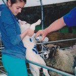 Lamb being sprayed