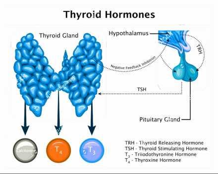 Thyroid gland hormones