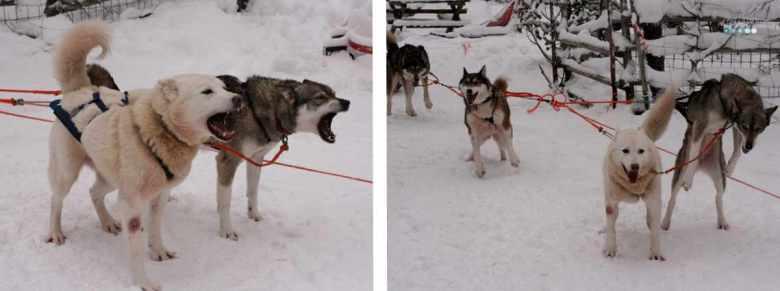 jumping huskies