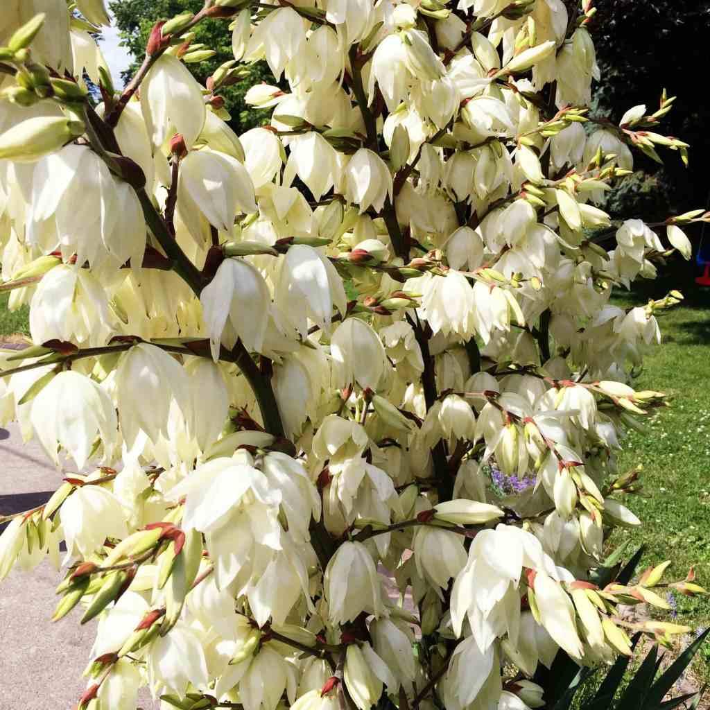 BugabooCity Yucca Plant