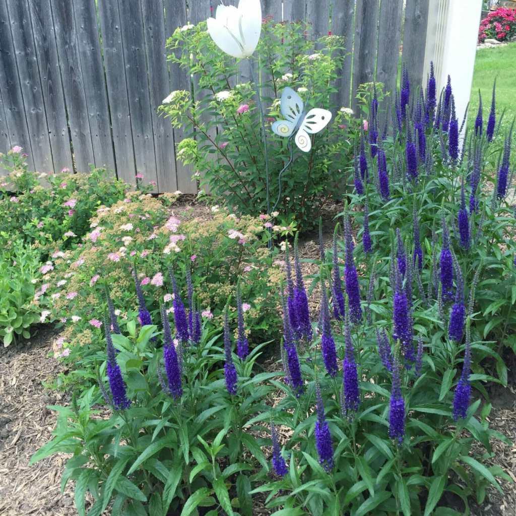 Salvia and princess spirea
