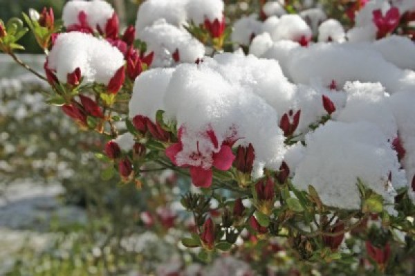 winter care for azaleas shrub