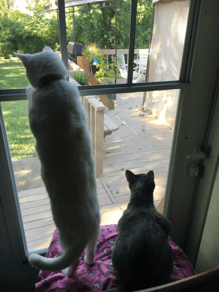 Aura and Frosty are super grateful for NOW® Pets Supplements! Did you know that cats can have seasonal and indoor allergies? Until we rescued Aura and Frosty I had no clue.