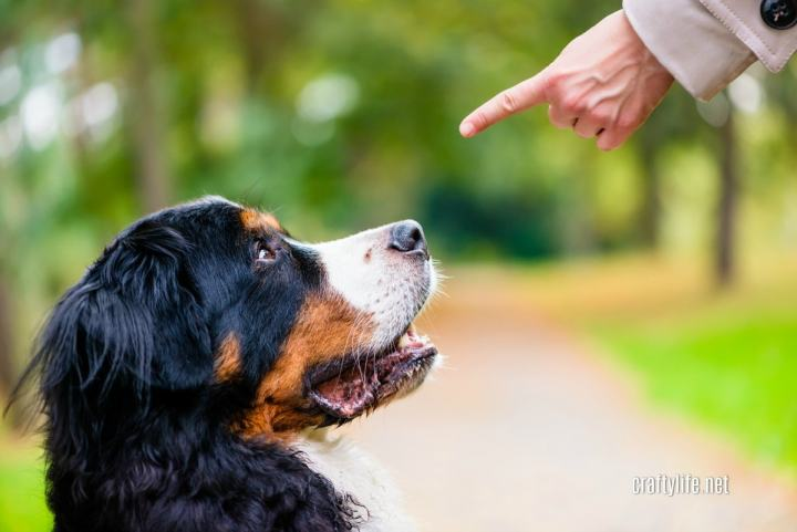 Successfully Training Your Dog - Burmese Mountain dog sitting