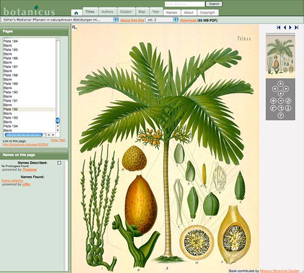 Downloading a botanical illustration, photo