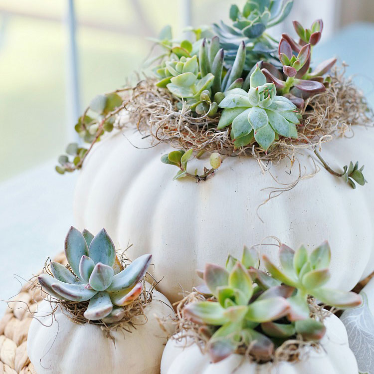 Succulents planted in pumpkins, photo
