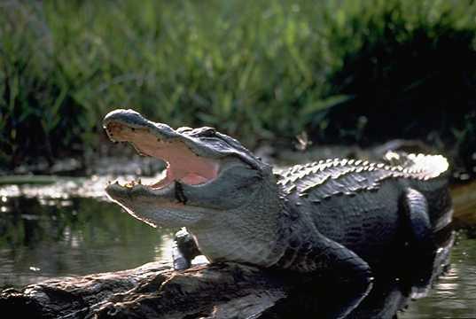 alligator222