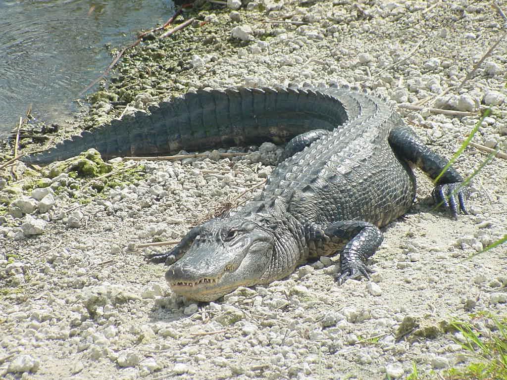 alligator_001