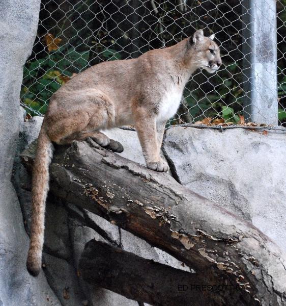 cougar-562x600