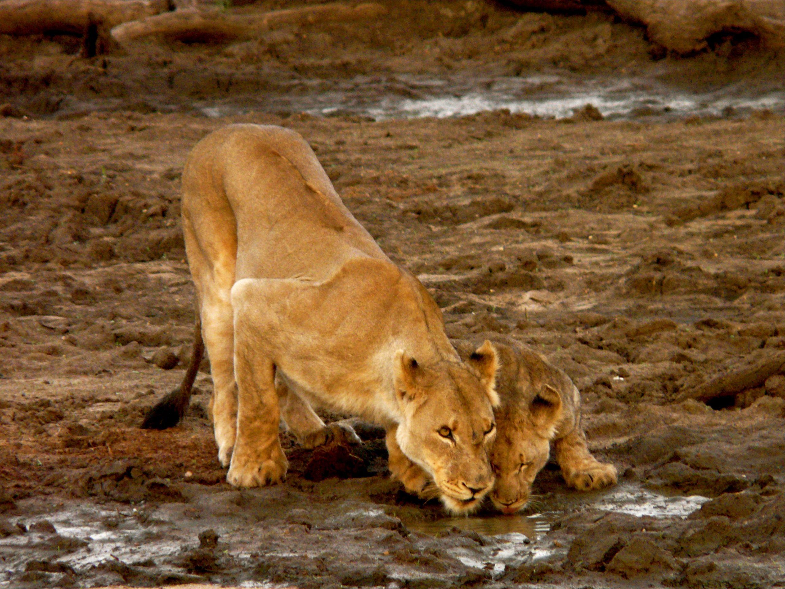 dec-12-lions-drinking