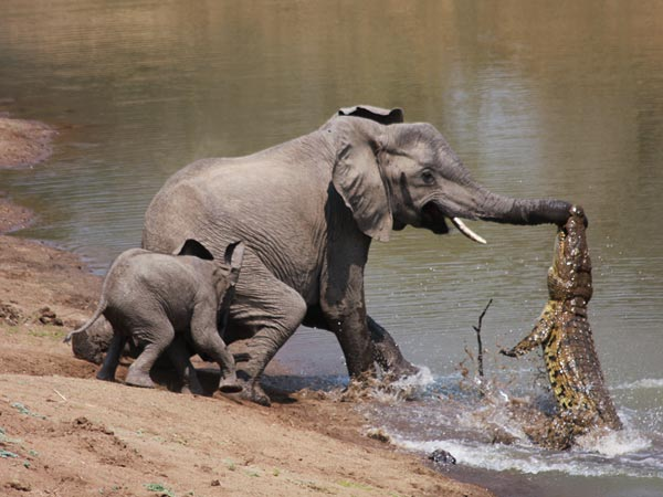 elephant-vs-alligator-fight-1_28154_600x450