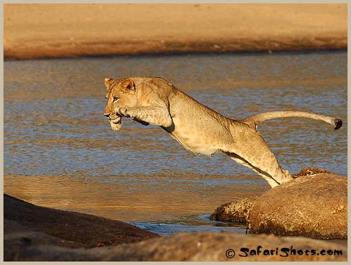 lion5safarishots