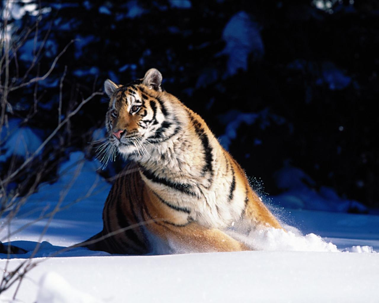 tiger_8