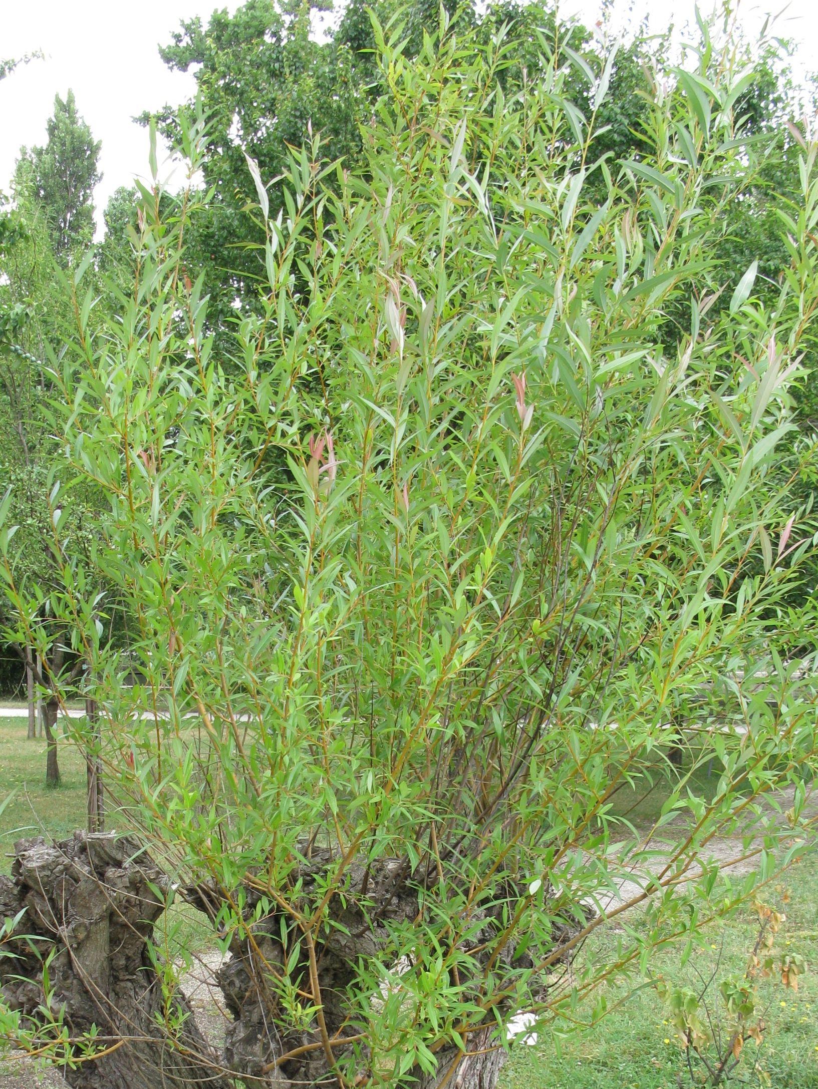 Keyword Salix Viminalis P 233 Pini 232 Re Cramer Inc