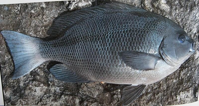【白毛】黑毛白毛魚 – TouPeenSeen部落格