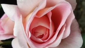 Rosa rosa 2017