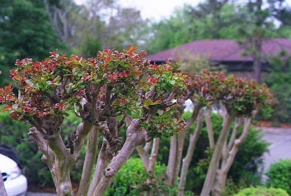 Crepe Myrtle Wood Uses